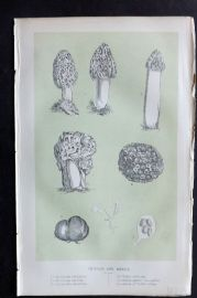 Intellectual Observer 1866 Botanical Print. Truffles and Morels